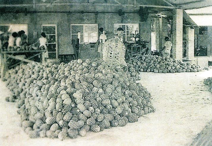 採收後送鳳梨工廠加工〈劉明財先生提供〉