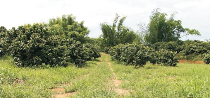 竹寮山山頂的竹林