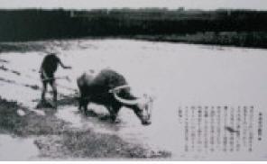 下淡水溪互信互賴的好友-- 水牛