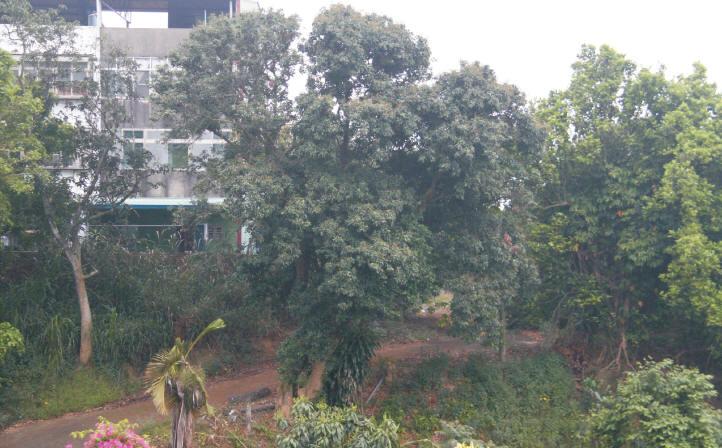 這三棵荔枝樹就有了,也已長得很高,係種 植於日治時期無誤,據保守推算,樹齡至少七、八十年了,也可能已百歲。