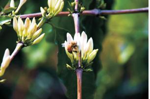 咖啡樹花期只有短短三天,但卻清香無比。