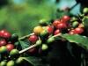咖啡果實,披紅抹綠,鮮紅晶瑩。