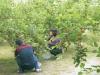 民眾在桑椹園採果