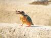 翠鳥享受「鮮蝦大餐」〈陳瑚琨攝〉