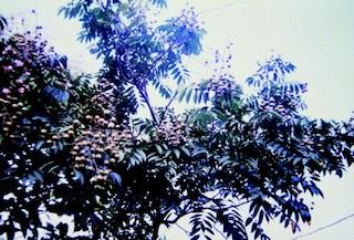黃目樹及子,皆像龍眼。