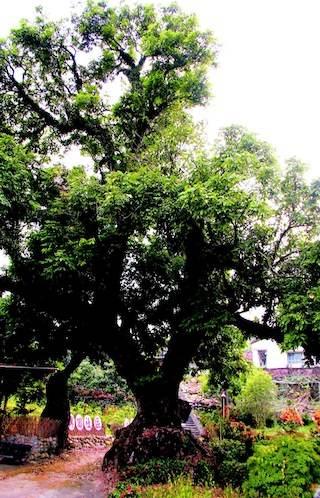 仙坑百年老龍眼樹