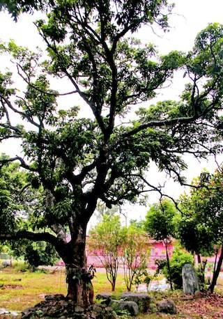 古厝前之高聳老樹