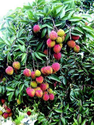 鵝蛋荔枝之果樹